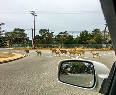 Deer on the way to the Grounds (randyherring) Tags: ca california beach historic asilomarconferencegrounds nature park outdoor recreational pacificocean deer pacificgrove unitedstates us