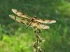 Halloween Pennant dragonfly (ginhollow) Tags: dragonfly halloweenpennant massachusetts