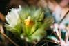 20150814-01841.jpg (tristanloper) Tags: macro tristanloper creativecommons cactus flower ferocactus ferocactusviridescens sandiego sandiegoca california sandiegocalifornia sandiegocounty thewest thesouthwest free