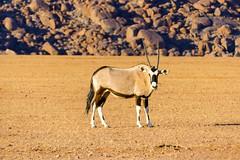 P1030006 (Seb_Jan) Tags: namibie namibia afrique africa afrika summer 2017 road trip roadtrip travel adventure holiday nature explore lumix wildlife safari picoftheday photooftheday dune desert naukluft oryx namib
