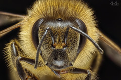 Face to Face (John Joslin) Tags: antenna macro nature hairy bee beautiful closeup colour color bright light delicate eyes extreme focus honeybee insect little tiny wildlife wings wild legs portrait stacking stack small summer warm wing yellow fly canon mpe65 sony a7