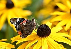 Enjoying the August Sunshine (Eleanor (No multiple invites please)) Tags: flower rudbeckia redadmiralbutterfly busheyrosegarden bushey uk nikond7200 105mmmacrolens august2017