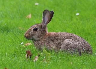 Wildkaninchen mümmelt Gras, NGID1139362107