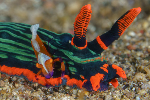 CelebesDivers - underwater 29 (Emperor shrimp on Nembrotha nudibranch)
