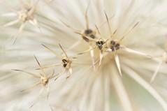 Zaaden / Seeds...... (wilma HW61) Tags: macromondays hmm mm seeds zaden highkey macro doff focus nederland niederlande netherlands natuur nature natur naturaleza holland holanda paísesbajos paesibassi paysbas europa europe été zomer summer sommer outdoor wilmahw61 wilmawesterhoud