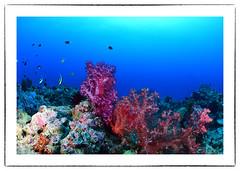 vanessa6 (capiwever) Tags: papua new guinea kimbe vanessas reef png diving walindi