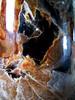 Micélio de cogumelo Schizophyllum Comune (Valter França) Tags: schizophyllum comestível cogumelo comune gill split fungi fungo mushroom