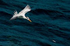 DSC_3511_edited-3.jpg (Rhodyman2000) Tags: seagull catchingfish lunch