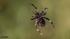 """Using five legs to untangle one web…amazing """"hand-eye"""" coordination! (flintframer) Tags: orb muscatatuck nwr color nature wildlife web spinning summer wow dattilo canon eos 7d markii ef100mm"""