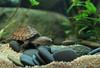 IMG_9785 (Laurent Lebois ©) Tags: laurentlebois france reptile rettile reptil рептилия tortue turtle tortoise tortuga tartaruga schildkröte черепаха chelonia sternotherus minor terrariophilie razorbackmuskturtle cinosterne