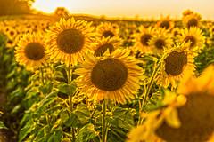 Sunflowers (Daniel000000) Tags: sunflower sunflowers flowers flower pope farm conservancy wisconsin landscape sun sunlight nikon sunset yellow colorful