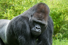 Denker (grasso.gino) Tags: tiere animals natur nature zoo berlin nikon d5200 affe monkey gorilla portrait