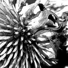 Withering Beauty (AleksandraMicic) Tags: flickr photos photographs photography photo images image aleksandramicic micicart micicartstudio art artistic slike slika floral flowers flower dryflowers blackandwhite blackwhite bw withering abstract abstracts