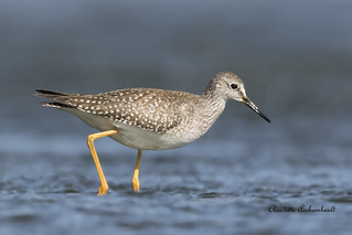 Petit Chevalier, Lesser Yellowlegs