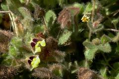 *Kickxia spuria, ROUND-LEAVED FLUELLIN (openspacer) Tags: fluellin jasperridgebiologicalpreserve jrbp kickxia nonnative plantaginaceae
