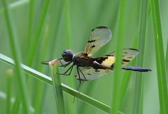 IMG_7952 (mohandep) Tags: madivala puttenahalli lakes bangalore nature wildlife insects birds flowers