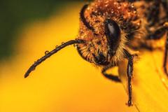 Die Blumen in den Tröpfen auf dem Fühler (Fotos4RR) Tags: biene wildbiene bee wildbee insekt insect tropfen drops blumenintröpfen flowerindrops bunt colorful gelbeblume yellowflower blume flower