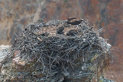 Osprey Nest in The Grand Canyon of the Yellowstone.-Yellowstone-August2017-130 (mrcadams) Tags: osprey nest canyon yellowstone bird