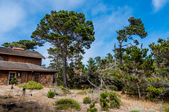 Tree at Asilomar (randyherring) Tags: recreational california beach historic asilomarconferencegrounds pacificocean outdoor park ca nature pacificgrove unitedstates us