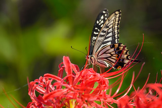 Papilio xuthus - ナミアゲハ