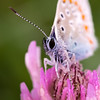 Plebejus argus (stmlphoto) Tags: flower blue silver plebejusargus insect macro butterfly