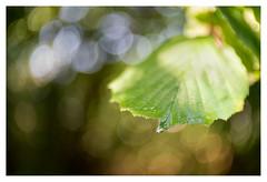 Leaf after rain (leo.roos) Tags: swirly leaf leaves blad bladeren a7rii meopta meostigmat3513 projectorlens projectionlens darosa leoroos