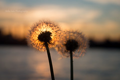 Good morning... (MikaJC) Tags: dandelion seedhead sunrise silhouette plants hudsonriver hoboken two morningglow 朝焼け 日の出