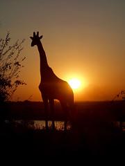 Out of Africa (setoboonhong) Tags: travel camping safari chobe national park botswana choberiver giraffe silhouette sunset reflections memories game drive ngc npc