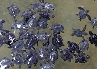 Baby Turtles (IMG_2508b)