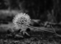 dandelion (K_R_R_2) Tags: sony a6000 nex bw bokeh dof flower dandelion autorevuenonmc50mmf114 revuenon