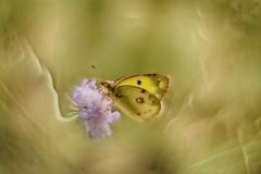 IMG_9654---hélios-44-2-lentille-inversée---pap--web (Monique J.) Tags: bokehtournant swirlybokeh hélios442 lentilleinversée papillon