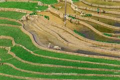 _Y2U9749.0617.Lao Chải.Sapa.Lào Cai. (hoanglongphoto) Tags: asia asian vietnam northvietnam northwestvietnam landscape scenery vietnamlandscape vietnamscenery vietnamscene sapalandscape terraces terracedfields terracedfieldsatvietnam terracedfieldsatsapa transplantingseason sowingseeds people flanksmountain landscapewithpeople hdr canon canoneos1dx canonef500mmf4lisiiusmlens tâybắc làocai sapa phongcảnh ruộngbậcthang đổnước mùacấy ruộngbậcthangsapa mùacấysapa sapađổnước phongcảnhcóngười người sườnnúi laochải