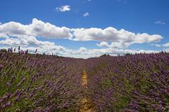 Lavande (StephanExposE) Tags: provence france valensole lavande lavanda nature field champs canon 600d 1635mm 1635mmf28liiusm ciel sky fleur flower