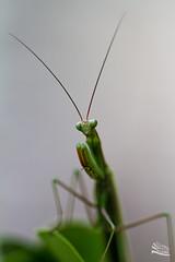 Mante religieuse (http://www.jeromlphotos.fr) Tags: mantereligieuse canon eos nature macro 100mm 28 vert green insecte jeromlphotosfr