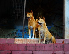 ,, Mother & Son ,, (Jon in Thailand) Tags: mama rocky motherson jungle themonkeytemple thespirithouse blue red yellow redfloortile dogears dogsmile dogeyes dog dogs k9 k9s dognose dogpaws dogportrait happydogs realhappydogs funnydogs nikon d300 nikkor 175528 guarddogs alertdogs littledoglaughedstories