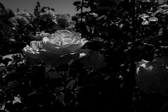 Rose At San Jose Rose Garden - HMBT (randyherring) Tags: ca glow flower sanjose municipalrosegarden recreation monochrome sunlight garden leaves plant roseflower rose flora california park bloomingflower relaxation outdoor blooming bloom morning green beauty unitedstates us