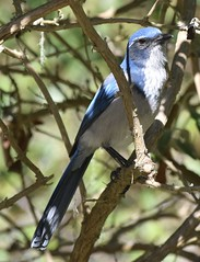 California Scrub-jay (MJ Harbey) Tags: californiascrubjay bird wildbird aphelocomacalifornica pacificgrove california usa