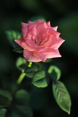 IMG_7834 (Andrey Acorbusie) Tags: acorbusie acorbusiedigtography flower pink nature singleflower colors