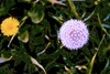 Dandelion Abstract! (maginoz1) Tags: flowers grass abstract art manipulate curves bulla melbourne victoria australia spring september 2017 canon 100d
