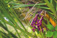 Palm tree fruits (petrapetruta) Tags: purple fresh exotic colorful catchy sonya7 hokeh