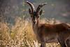 Cabra montés (annannavarro) Tags: capra cabra montes montaña valencia spain cuernos ibérica wild salvaje mamíferos monte mountains port portrait