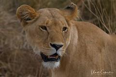 UMT08648_tn (UmitCukurel) Tags: narokcounty kenya masaimara africa lion liones cub greatmigration wildebeest sunset sunrise silhouette crocodile hunt kill river mara sony nikon d500 a7r2