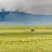A Savanna Elephant (Loxodonta africana) strolling across the floor of Ngorongoro Crater