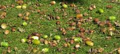 September colours (I) (Elisa1880) Tags: eikels acorns autumn beginning solleveld landgoed ockenburgh the hague den haag nederland netherlands