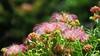 Silk Tree Flowers (Larry Myhre) Tags: silktree mimosatree persiansilktree albizia honolulu hawaii flower