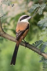 Long-tailed Shrike (steve happ) Tags: gujurat india laniusschach longtailedshrike thollake tholwildlifesanctuary