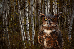 Owl-Birch-Trees-W (RickLev) Tags: owls birch trees rick levesque leaves fallcolours fall autumn canon5dmarkii wisdom