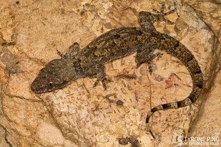 Hemidactylus mabouia  - Tropical House Gecko,