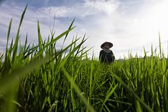 (espinozr) Tags: sky field farmer vietnam asia southeastasia 2017 conicalhat sunset picsofasia tamcoc ninhbinh backlight hat rice fields