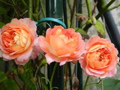 Mes préférées ! (la colombe88) Tags: fleurs nature roses